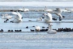 登陆在水的寒带苔原天鹅 免版税图库摄影