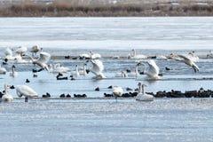 登陆在水的寒带苔原天鹅 免版税库存照片