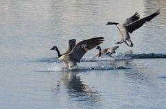 登陆在Winter湖的三只加拿大鹅 免版税库存图片