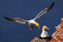 登陆对与女性开会的巢的鸟在鸡蛋 从自然的野生生物场面 在岩石峭壁的海鸟 与两的海岸野生生物 免版税库存图片