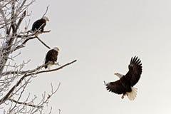 登陆的白头鹰 免版税图库摄影