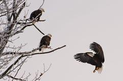 登陆的白头鹰 免版税库存图片