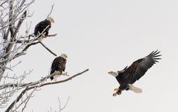 登陆的白头鹰 库存照片