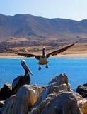 登陆的秘鲁鹈鹕 免版税库存图片