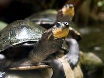 陆龟 免版税库存图片