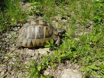 陆龟graeca -希腊草龟 免版税库存照片