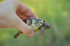陆龟graeca 库存照片