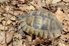 陆龟graeca ibera 库存图片