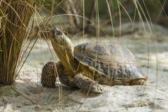 陆龟horsfieldii 库存图片