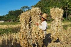 陈小山部落的人在清迈,泰国收获米 图库摄影