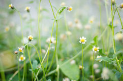 降下外套按钮,墨西哥雏菊, Tridax雏菊,野生雏菊, Tridax procumbens菊科,菊科 库存照片