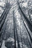 降低上面看法在用在冬天风景的雪结冰掩盖的高裸体林木在黑白 免版税库存图片
