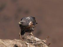 降低其题头和查找对端的非洲狐狼肉食ona岩石 免版税库存照片