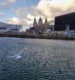 降低在利物浦的海鸥在一个冷的冬天以后靠码头 免版税库存照片