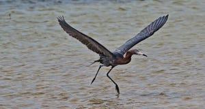 降低在潮汐水的带红色白鹭在坎昆的Isla布朗卡墨西哥 免版税库存照片