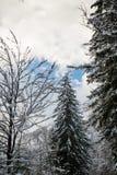 降低在用在冬天风景在山,斯洛文尼亚的雪盖的高杉树的看法 免版税图库摄影