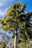 降低在高多雪的杉树的看法在蓝天和阳光 免版税库存照片