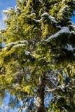 降低在高多雪的杉树的看法在蓝天和阳光 图库摄影