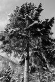 降低在高多雪的杉树的看法在黑白 库存图片