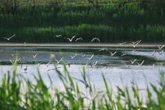 降低在水的几只鸟海鸥 免版税库存图片