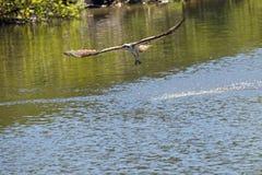 降低在水的白鹭的羽毛在中央佛罗里达 免版税库存图片