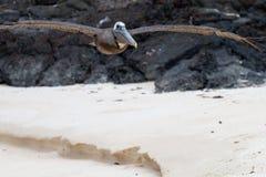 降低的鹈鹕 图库摄影