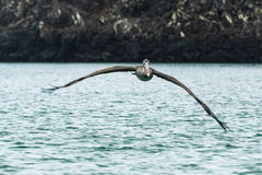 降低水面上的鹈鹕 免版税库存照片