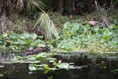 降低Wekiva河国家公园,佛罗里达,美国 免版税库存照片