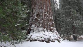 降雪在美洲杉国家公园 股票视频