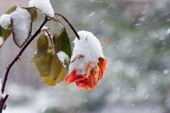 降雪的罗斯 免版税库存照片