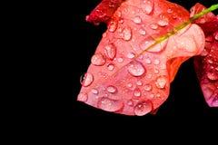 降露在一个海岛上的九重葛桃红色花在黑背景-储蓄图象的明亮的颜色的 免版税图库摄影