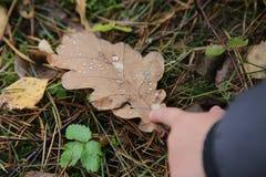 降露在一片橡木叶子和儿童` s手的特写镜头在秋天 库存照片