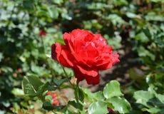 降露在开花在庭院里的一朵红色玫瑰 库存图片