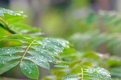 降露在绿色叶子的小滴,在雨绿色叶子以后的水下落 免版税库存图片