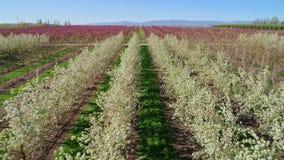 除树的果子全部在爱达荷农场的行 股票录像