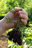 除草与在儿童左手和土壤举行的根 免版税库存图片