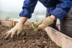 除草在菜园里,特写镜头 在手套的女性现有量 文化植物概念关心  免版税库存照片