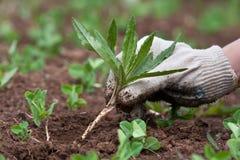 除草在菜园里,特写镜头 库存图片