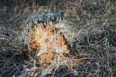 阴险发光的万圣夜树桩 图库摄影