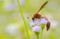 陶瓷工黄蜂-红切叶蜂latreilli 免版税库存图片
