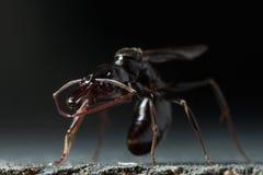 陷井下颌蚂蚁 免版税库存照片