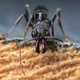 陷井下颌蚂蚁 库存图片