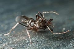 陷井下颌蚂蚁 免版税库存图片