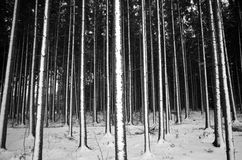 随风飘飞的雪在云杉的森林里 免版税库存图片