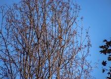 隐眉鸟在与秋天颜色的树栖息早晨 免版税图库摄影