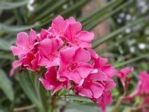 隐约地出现的美丽的桃红色夹竹桃花夹竹桃夹竹桃在绿色叶子背景,选择聚焦的关闭 免版税库存照片