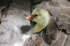隐藏他的妈妈的幼鹅下 免版税库存图片