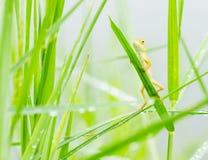 隐藏在新鲜的叶子绿草的小的蜥蜴 库存照片