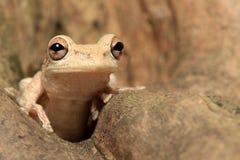 隐藏在树干的古巴雨蛙 免版税库存照片