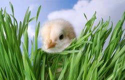 隐藏在草的婴孩小鸡 库存照片